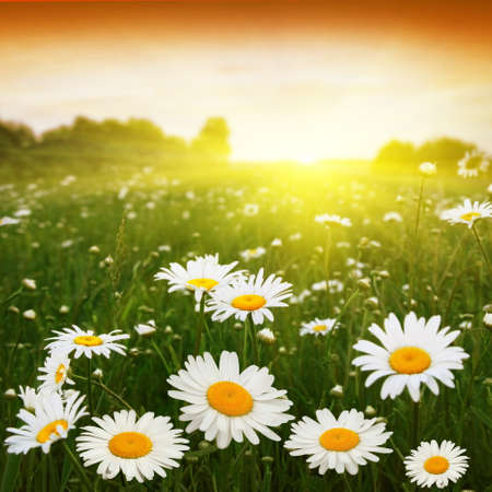 Sunset and flower field  Stock Photo - 12466798