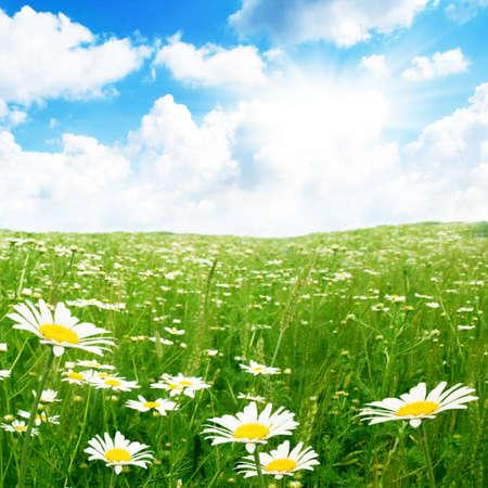 Daisy field,blue sky and sun