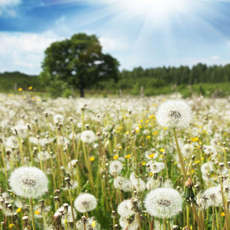 White dandelions in the field and blue sky with sun