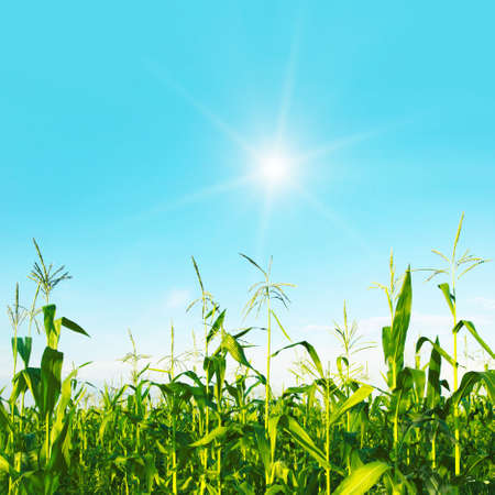 non cultivated: Green field of young corn on bright sunny day