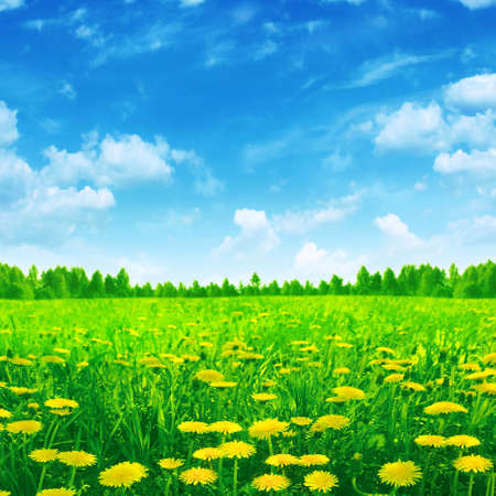 Dandelion field and bright blue sky  photo