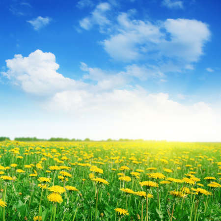 Field of dandelions,blue sky and sun