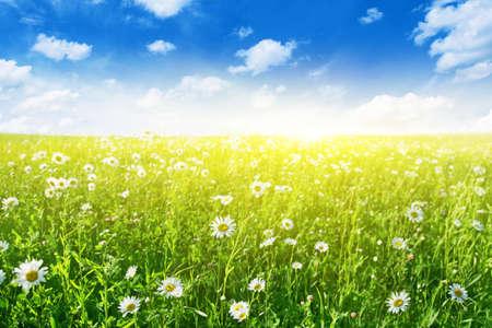 white clover: Flower field on sunny day   Stock Photo