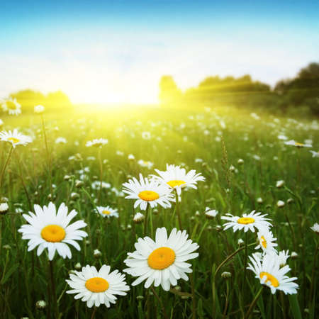 Field of daisies,blue sky and sun Stock Photo - 12903040