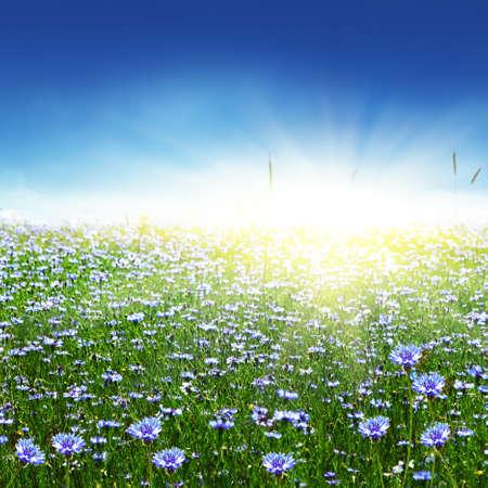 Cornflower: Blue cornflowers and sun