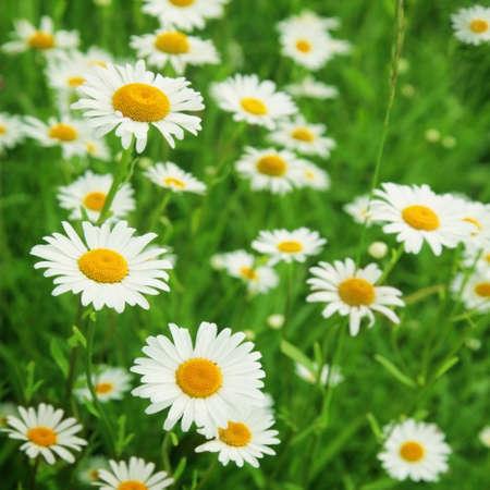 white daisy: Field of daisies