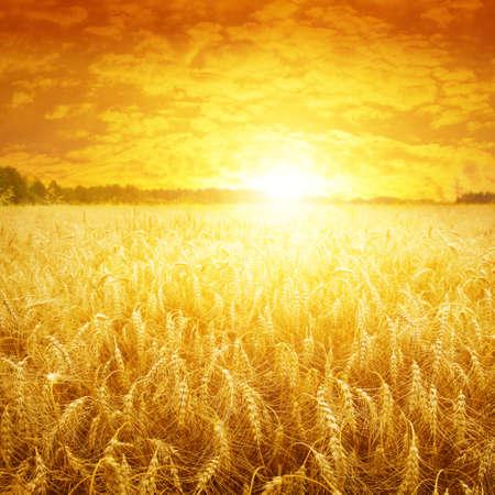 cosecha de trigo: Puesta de sol brillante sobre el campo de trigo Foto de archivo