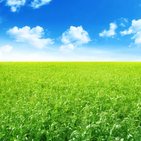 green pea: Summer landscape with green field and blue sky