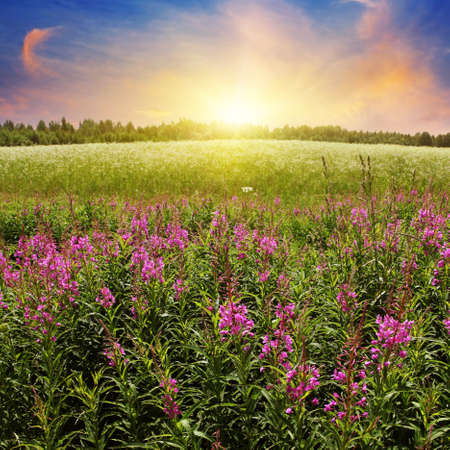 Colorful sunset over flower field