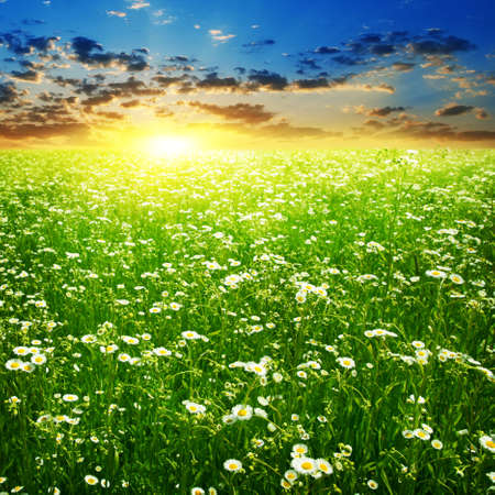 Colorful sunset and daisy flowers in the field. Stock Photo - 12802185