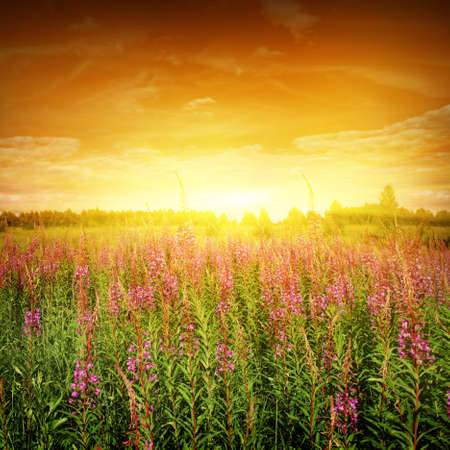 Bright sunset and flower field  photo