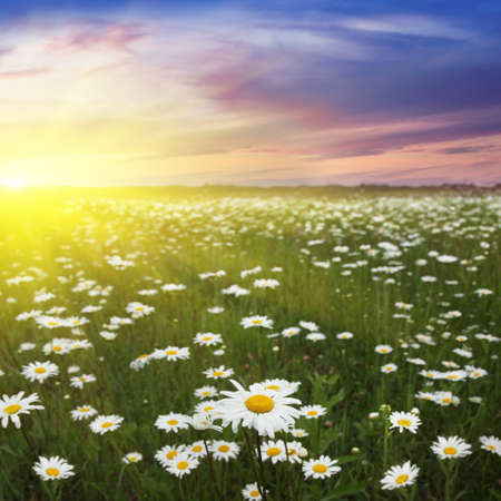 Daisy field and beautiful sunset  photo