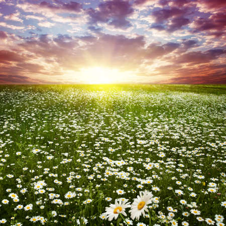 Beautiful sunset over flower field   Stock Photo - 12903096