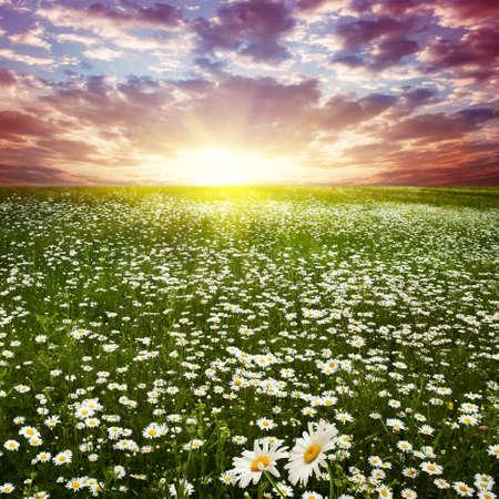 Beautiful sunset over flower field   photo