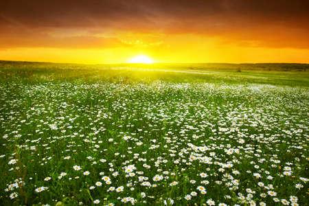 Daisy field at twilight Stock Photo - 12903118