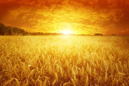 Golden sunset over wheat field   Stock Photo