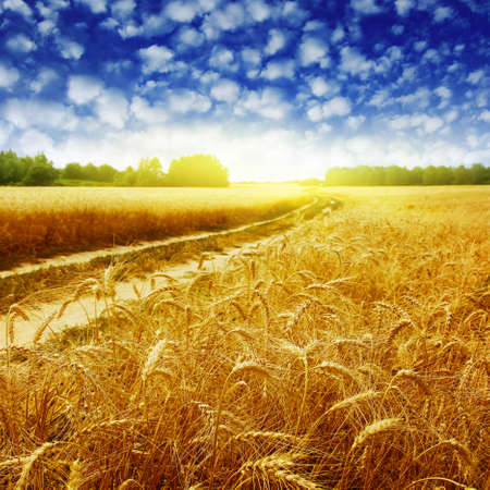 Country road in wheat field at sunset. Stock Photo - 12778777
