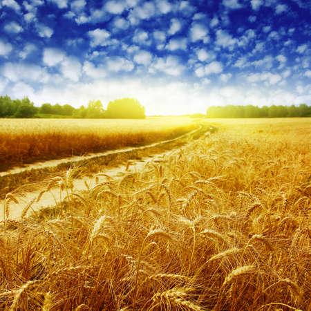 yellow  agriculture: Pa�s por carretera en el campo de trigo al atardecer. Foto de archivo