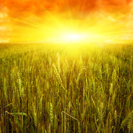 Wheat field and sunset   photo