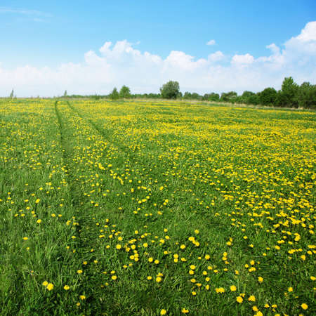 grass field: Road in dandelion field