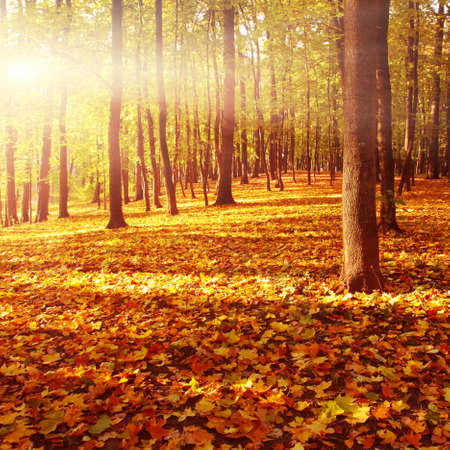Autumn forest at sunset   photo