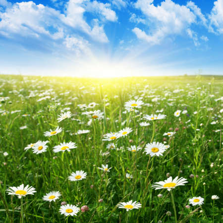 Blue sky with sun and daisy field   Stock Photo - 13041885