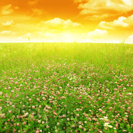 red clover: Clover field and bright sun  Stock Photo