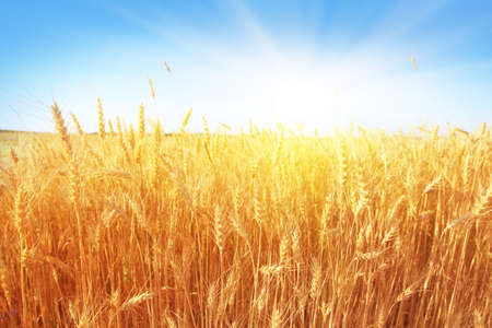 Wheat field and blue sky with sun  photo