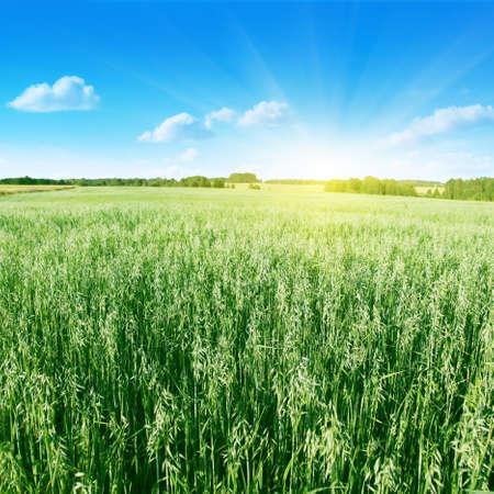 haver veld: Oat veld, blauwe lucht en zon Stockfoto