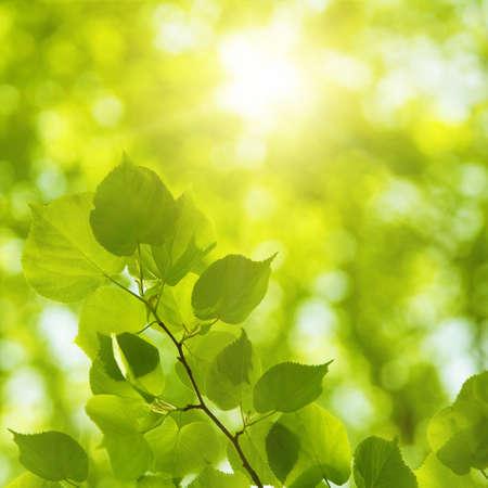 tilo: El brillo del sol en la primavera de los bosques