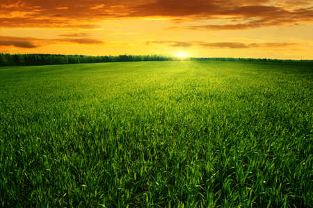 Field of green grass and bright sunset   Stock Photo