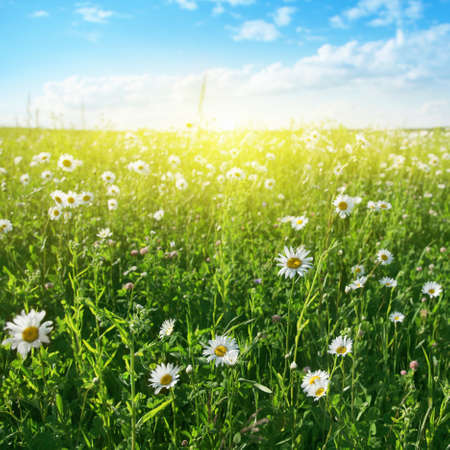Field of white daisies,blue sky and sun   Stock Photo - 13075894