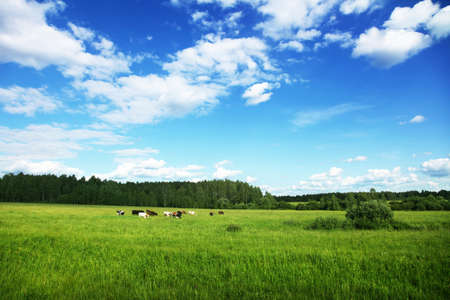 Rural landscape with herd of cows  photo