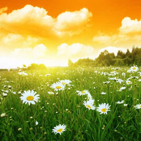 Daisy field and sunset sky  Stock Photo - 13060988