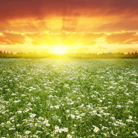 fleurs des champs: Champ de fleurs au coucher du soleil Banque d'images