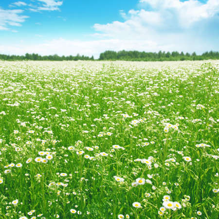 Daisy field on summer day  Stock Photo - 13075906