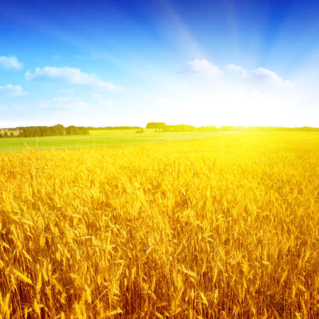 Field of wheat,blue sky and sun  Stock Photo
