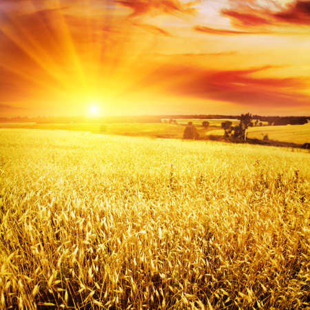 field: Wheat field at sunset