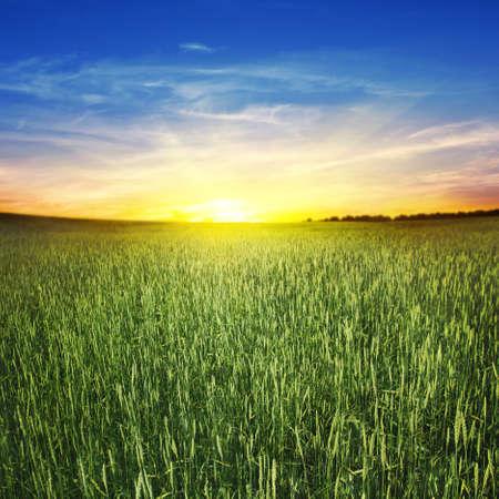 corn field: Beautiful sunset and wheat field  Stock Photo