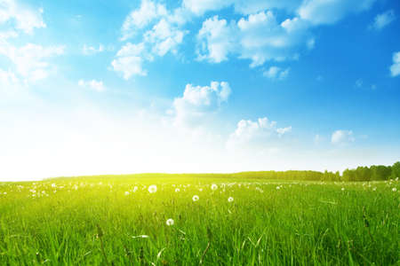 Field of dandelions on bright summer day  Stock Photo
