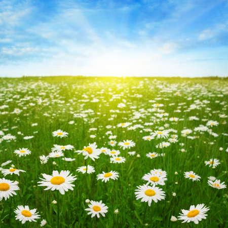 Daisy field,blue sky and sun  photo