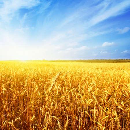 wheat crop: Campo de trigo, el cielo azul y el sol