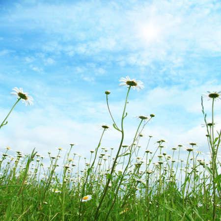 Daisy field and blue sky with sun  photo