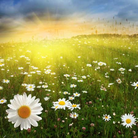 Summer flower field at sunset  photo