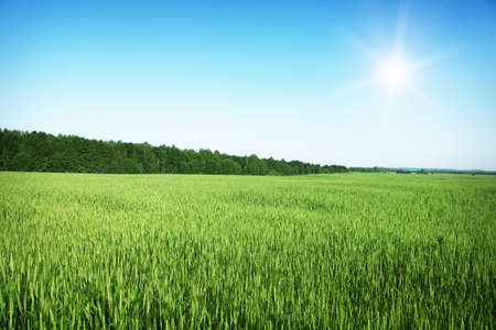 Wheat field,blue sky and sun  photo