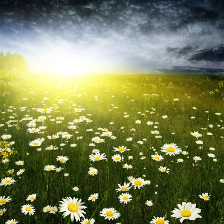 Daisy field and stormy dramatic sky with sunlight  photo