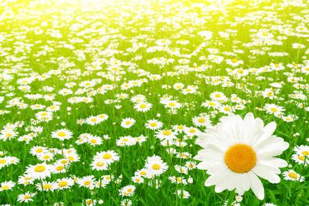 Daisy field and morning sunlight  photo