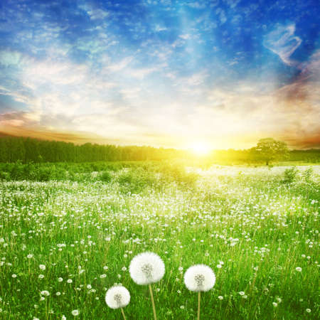 Dandelion field and bright colorful sunset. Stock fotó