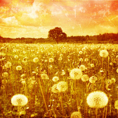 Grunge image of dandelion field at sunset  photo