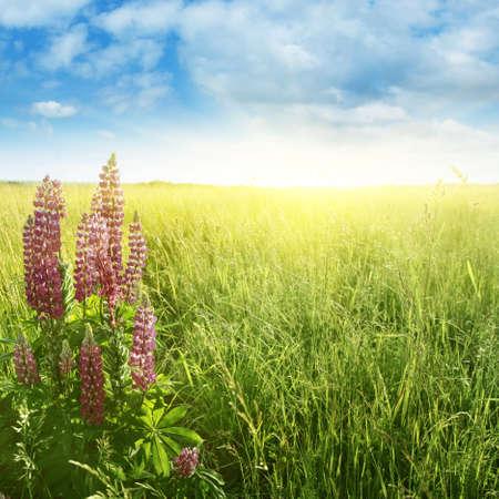 lupine: Bright sun over summer field